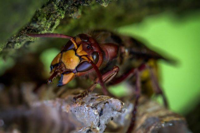 Ana arı kolonide ne yapar